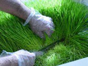 a búzafű betakarítása